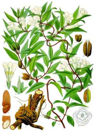 Gelsemium sempervirens (Жасмин вечнозеленый)