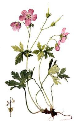 Geranium maculatum (Герань пятнистая)