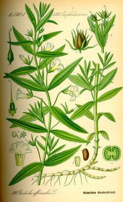 Gratiola officinalis (Авран лекарственный)