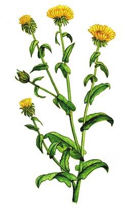 Grindelia robusta (Гринделия плотная, мощная)