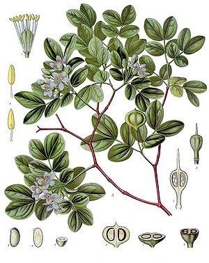 Guajacum officinale (Гваяковое дерево, Бакаут)