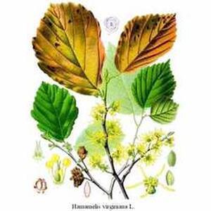 Hamamelis virginica (Гамамелис виргинский)
