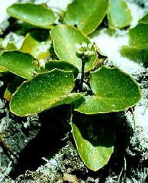 Hydrocotyle asiatica (Водяной пупок)