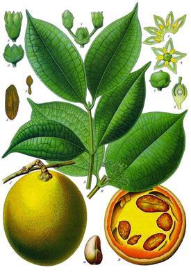 Ignatia amara (Игнация горькая, Бобы св. Игнация)