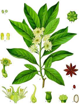 Illicium anisatum (Бадьян анисовый)