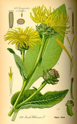 Inula helenium (Девясил высокий)