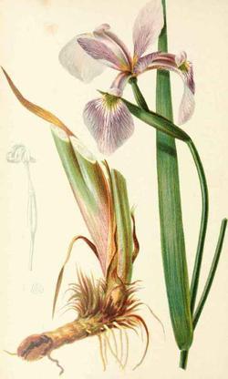Iris versicolor (Ирис пестрый, Касатик разноцветный)