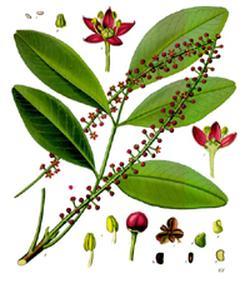 Jaborandi (Пилокарпус яборанди)