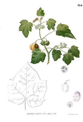 Jatropha curcas (Ятрофа куркас)