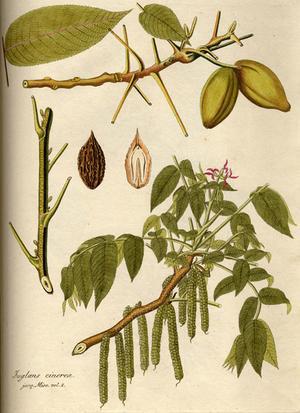 Juglans cinerea (Орех серый)