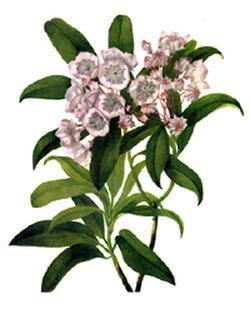 Kalmia latifolia (Кальмия широколистная, Американский лавр)