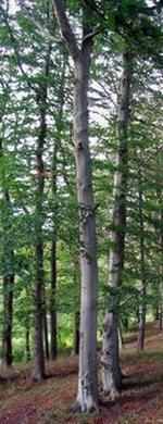 Kreosotum, Fagus sylfaticas (Деготь бука лесного)