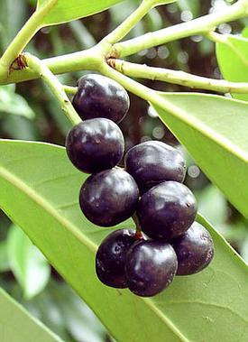 Laurocerasus officinalis (Лавровишня)