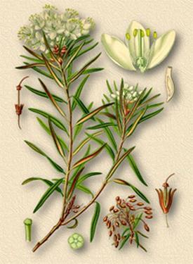 Ledum palustre (Багульник болотный)
