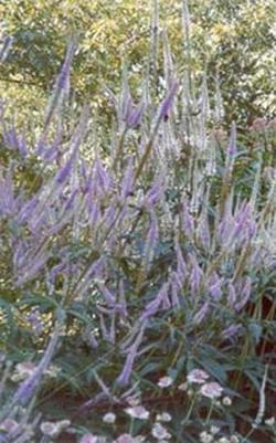 Leptandra virginica, Veronica virginica (Лептандра виргинская, Вероника виргинская)