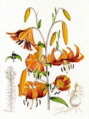 Lilium tigrinum (Лилия тигровая)