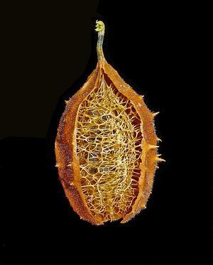 Luffa operculata (Люффа прикрытая или слабительная)