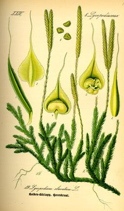 Lycopodium clavatum (Плаун булавовидный)