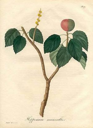 Mancinella, Hippomane mancinella (Манцинелла)
