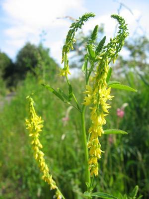Melilotus officinalis (Донник аптечный)