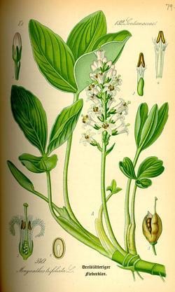 Menyanthes trifoliata (Вахта трехлистная)