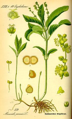 Mercurialis perennis (Пролеска многолетняя)