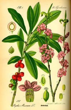 Mezereum, Daphne mezereum (Волчеягодник обыкновенный, Волчье лыко)