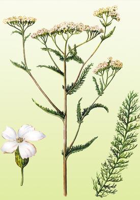 Millefolium, Achillea millefolium (Тысячелистник обыкновенный)