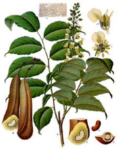 Momordica balsamum (Бальзаминное дерево)