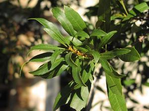 Myrica cerifera (Мирика восконосная)