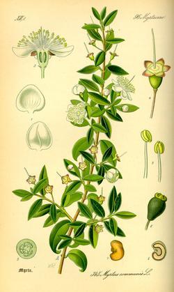 Myrtus communis (Мирт обыкновенный)