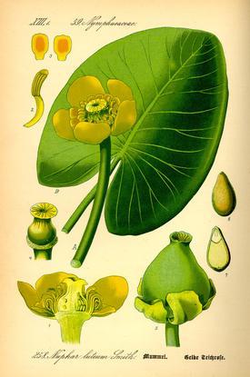 Nuphar lutea (Кубышка желтая)