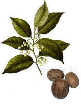 Nux moschata (Мускатный орех)