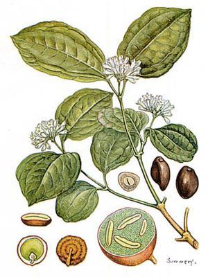 Nux vomica (Рвотный орех, Чилибуха)