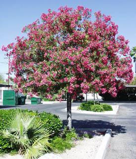 Oleander nerium (Олеандр)