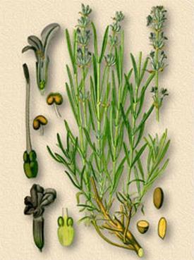 Oleum lavаndule (Масло лавандовое)
