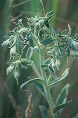 Onosmodium (Оносмодиум)