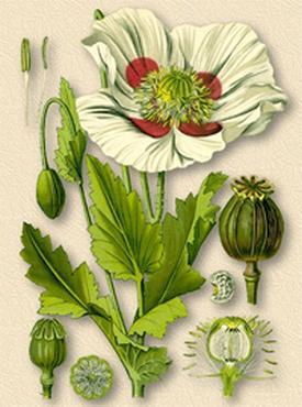 Opium, Papaver somniferum (Мак снотворный)