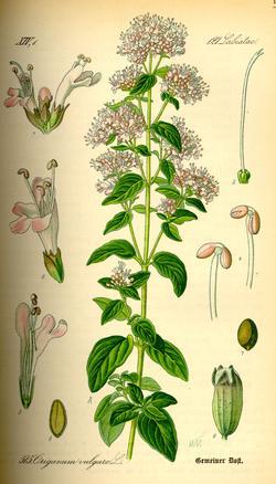 Origanum vulgare (Душица обыкновенная)