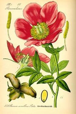Paeonia officinalis (Пион аптечный)