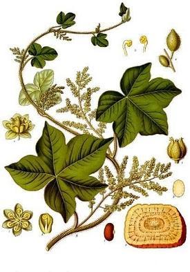 Pareira brava, Chondodendron tomentosum (Хондодендрон войлочный, Парейра)