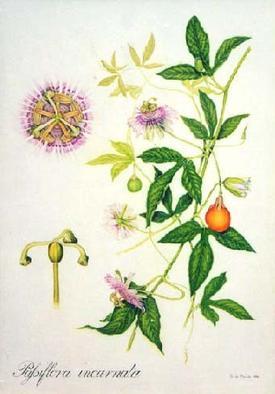 Passiflora incarnata (Пассифлора, Страстоцвет мясо-красный)