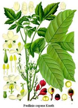 Paullinia sorbilis (Паулиния)