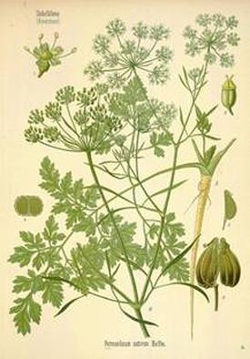 Petroselinum sativum (Петрушка посевная)