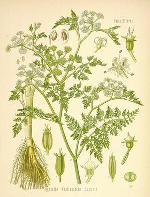Phellandrium aquaticum (Омег водяной, Фелландриум)