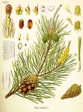 Pinus silvestris (Сосна обыкновенная)