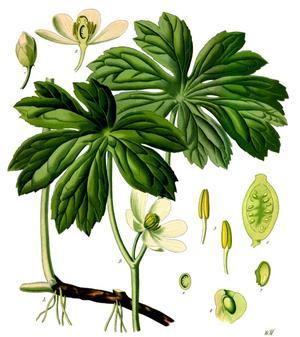 Podophyllum peltatum (Ноголистик щитовидный)
