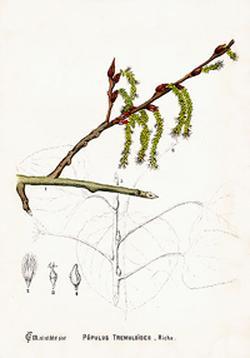 Populus tremuloides (Осина, Дрожащий тополь)