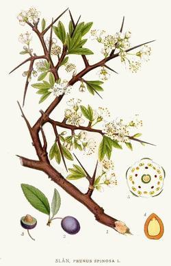Prunus spinosa (Терновник)