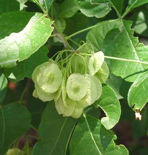 Ptelea trifoliata (Птелея трехлистная, Американский хмель)